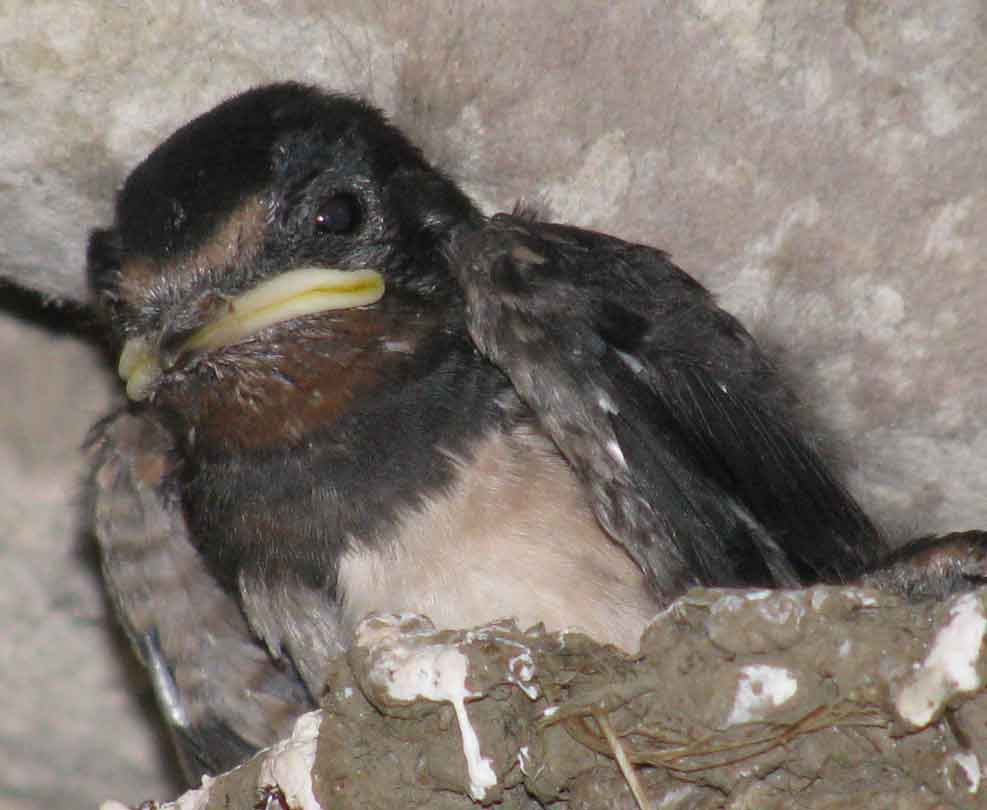A swallow chick