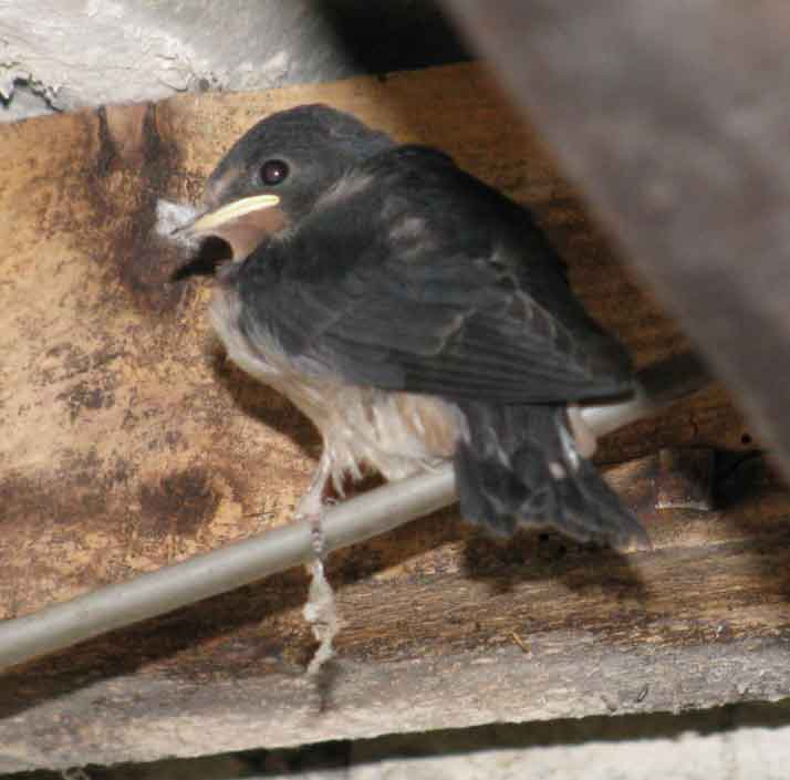 swallow chick 1